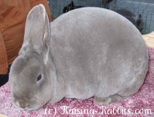 Lilac Mini Rex Rabbit