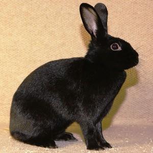 Alaska Rabbit, recognized in the UK