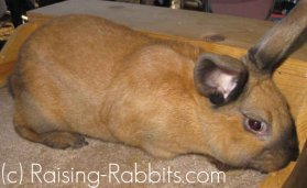 Cinnamon Rabbit with 'ee' at the 'E' locus