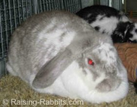 Broken French Lop show rabbit