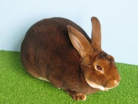 Castors, Brokens, Red Rex offered for sale by Gerlach's Rabbit Tracks