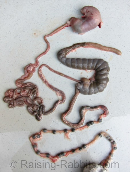 Rabbit Intestinal Tract. The very large blind pouch is the cecum, or hindgut.