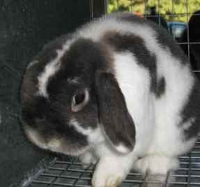 Broken Holland Lop Rabbit