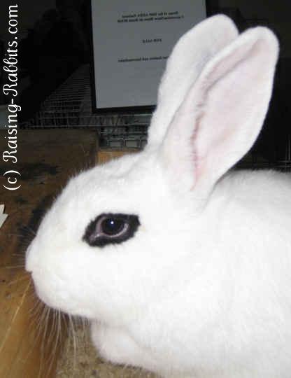 Full size Blanc de Hotot rabbit