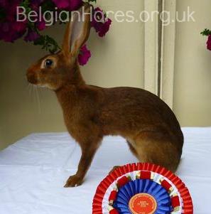 Reta, reserve champion Belgian Hare, UK