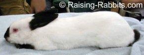 All rabbit breeds - Himalayan Rabbit