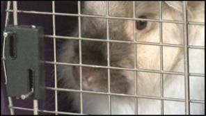 One of the 200 rabbits seized, in a dog crate