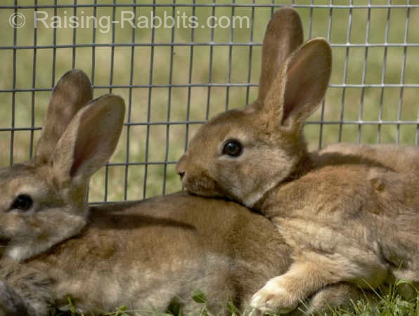 Two pet rabbits getting a romp outdoors in a rabbit run