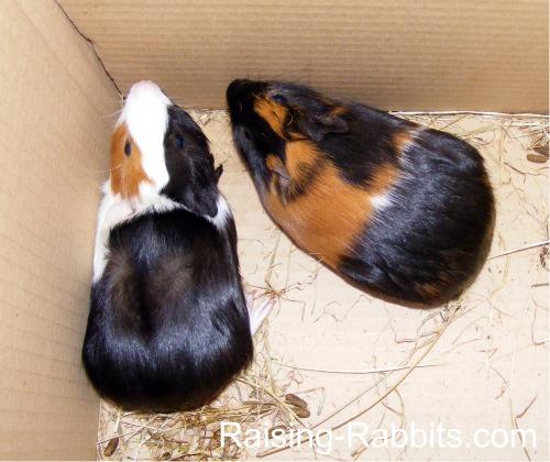 Iain's two guinea pigs