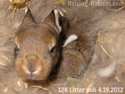 12-day-old castor rex youngster