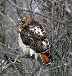 Red Tailed Hawk in New York