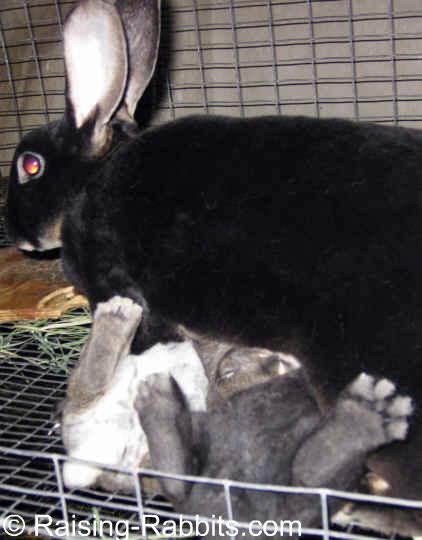 Black Otter Rex doe feeding her 4-week-old bunnies
