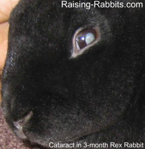Juvenile cataracts in black rex rabbit at 3 months of age as a result of a recessive genetic defect