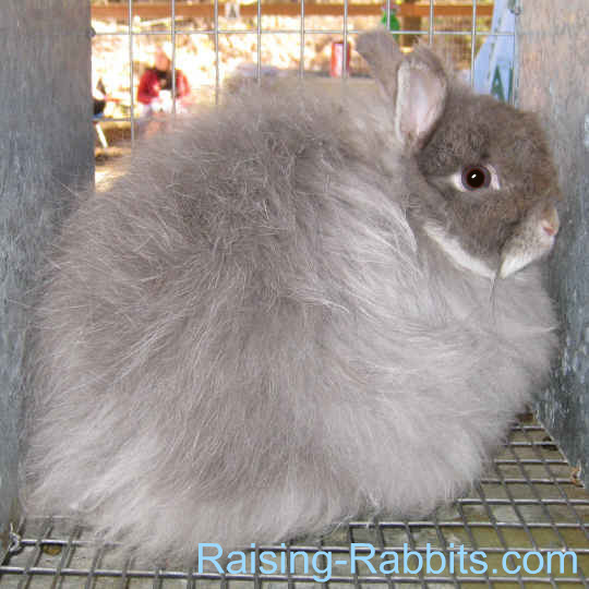 Different kinds of rabbits - jersey wooly - rabbit wool