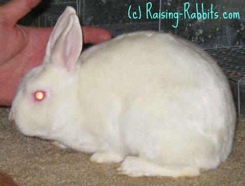 Different kinds of rabbits - mini satin - satin fur