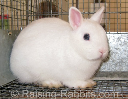 This blue-eyed white Netherland Dwarf weighs only 2.7 pounds.