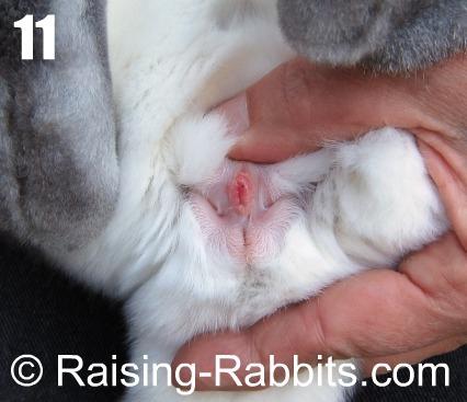 Sexing rabbits - adult doe