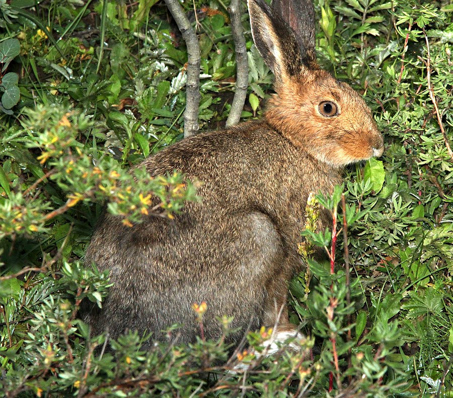 Snowshoe Hare in summertime
