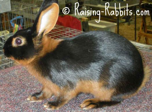 Tan Rabbit, Black variety