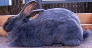 American Rabbit. American Blue and White Rabbits