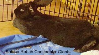 Soluna Ranch Continental Giants