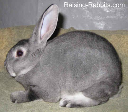 7-week-old chinchilla rex bunny