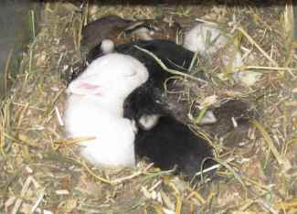 Rex rabbit kits raised for meat and for show