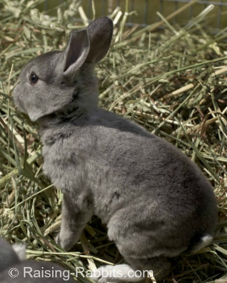 Chinchilla Rex Rabbit enjoying a romp in the grass. Rex rabbits are suitable for both meat rabbits and pelt rabbits.