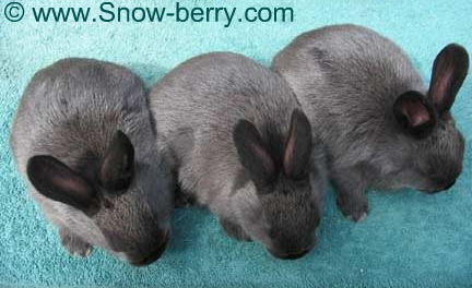 3 American Sable Rabbit bunnies with excellent shading
