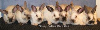 Siamese Satin rabbits from Shiny Satins Rabbitry
