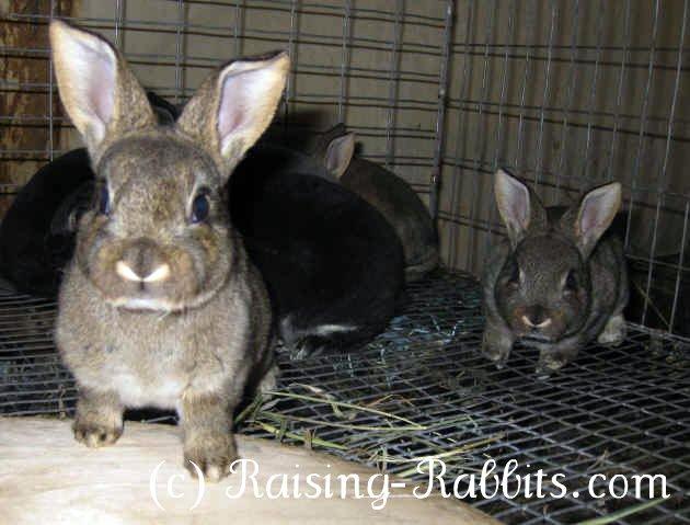 Inquisitive Rex rabbit kits
