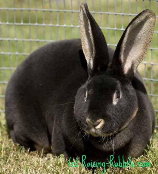 Grand Champion Black Otter Rex Rabbit Doe