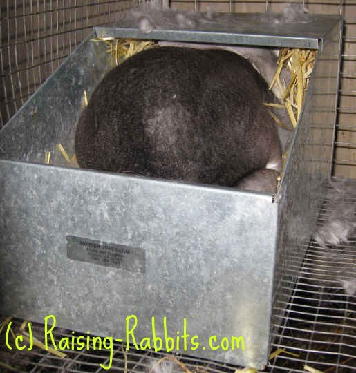 Chinchilla Rex Doe in Nest Feeding Bunnies