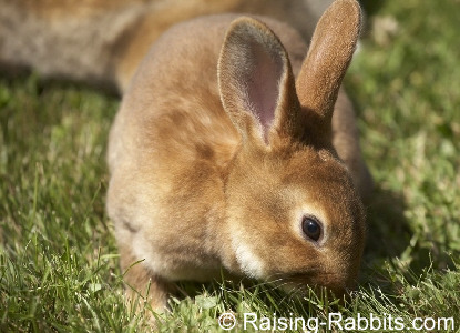What do rabbits eat? Here's a Rex rabbit nibbling pesticide-free grass.