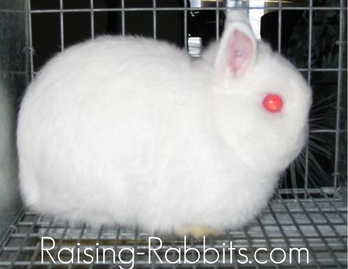 REW Netherland Dwarf Bunny