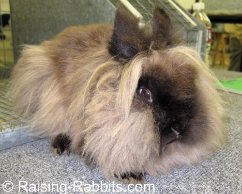 Lionhead rabbit in very good condition.