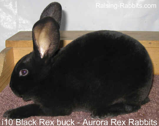 Rabbit Genetics Self Black Rex rabbit
