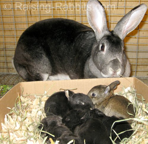 Chinchilla Rex doe with litter and foster kits