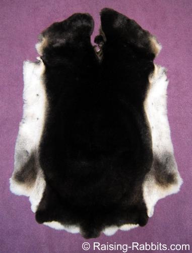 Black Otter Rex Rabbit Pelt