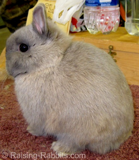 Lynx Netherland Dwarf pictured on Raising-Rabbits.com