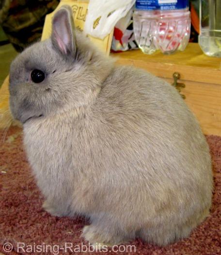 Lynx Netherland Dwarf pictured on Raising-Rabbits.com