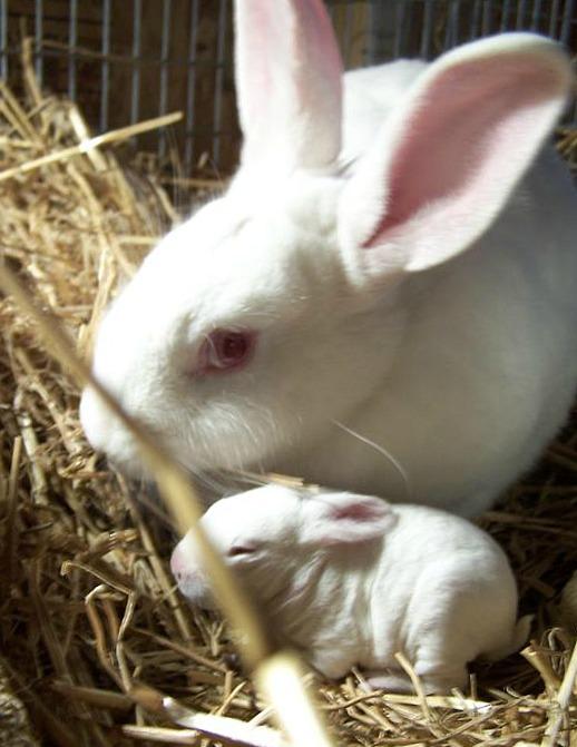 New Zealand White rabbit and kit