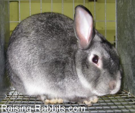 Chinchilla Satin Rabbit