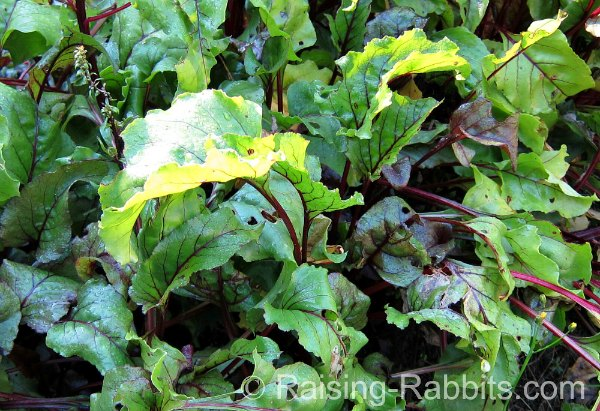 Beet greens, a great forage for rabbits