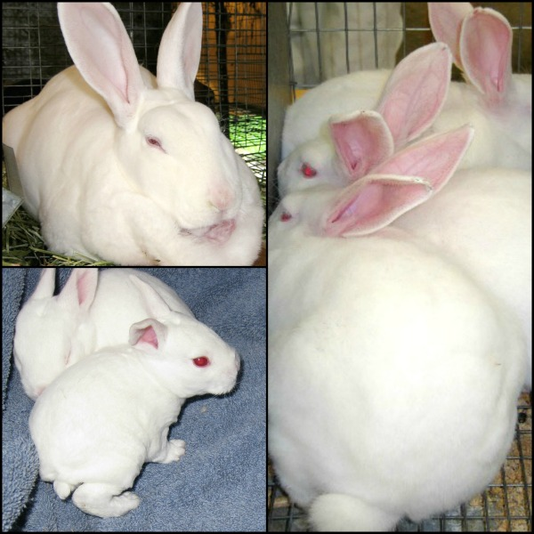 Raising Meat Rabbits: Backyard and Small Scale Commercial Enterprises