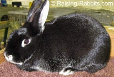 Black Silver Martin rabbit with well-conditioned fur and flesh and a very glossy coat