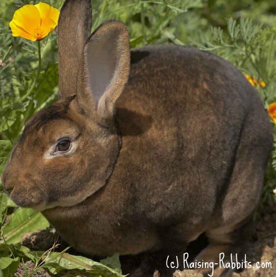 Castor Rex Rabbit - 'DD'
