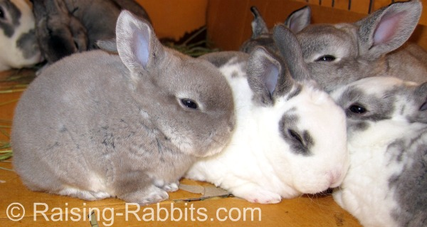 Young rex bunnies