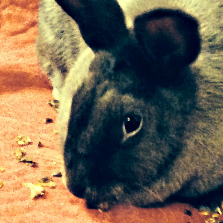 This bunny is snacking on Bunny Branola, a healthful and stress-relieving feed supplement.