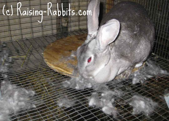 Chinchilla Rex Doe Pulling Fur